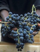 Hands holding Merlot grapes