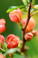 Quince blossom 1