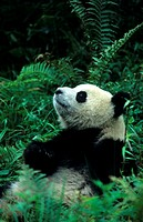 Mammal, Panda, Giant, 1 year old male, captive, panda centre, Wolong Valley, Himalaya, China, Ailuropoda melanoleuca,