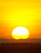 , Zebra & Wildebeest herds on the horizon at dawn,