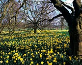 , Daffodils & Blossom Ascott House Gardens, Yellow Flowers Blooms Spring Colour Still Life Garden