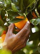 Senior man picking orange, close-up