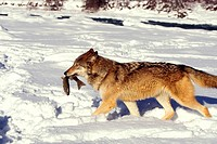 Mammal, Wolf, Gray, carrying trout in mouth in snow,