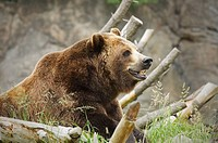 A grizzly bear contemplating a quite moment