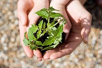 Close-up overhead view of baby tomato plant in child's hands, cupped by adults hands