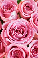 Pink roses, close-up, full frame