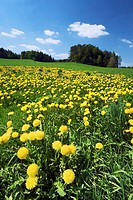 Dandelions in field