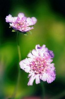 Two Pincushion Flowers. Scabiosa columbaria. October 2006, Maryland, USA