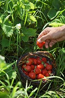 Man picking strawberries close-up of hand (thumbnail)