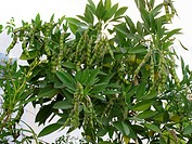 A tree of Pigeon Peas