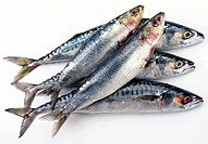 Fresh Oily Fish, Sardines And MacKerel / Cut Out
