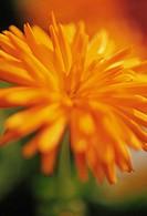 Calendula ´Porcupine´, Marigold