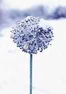 Allium ampeloprasum, Leek
