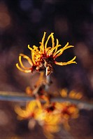Hamamelis - variety not identified, Witch hazel