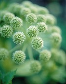 Angelica archangelica, Angelica