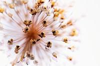 Allium cristophii, Allium