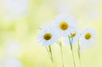 Leucanthemum vulgare, Daisy / Marguerite