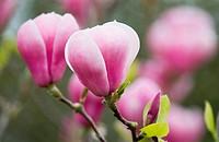 Magnolia soulangeana, Magnolia
