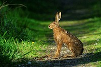 Brown hare, European Hare, Germany