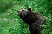 European brown bear, Ursus arctos