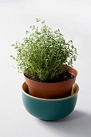 Thyme in a flower pot