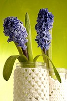 Blue hyacinths
