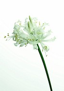 White nerine