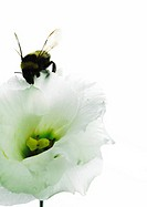 Bumble bee in a eustoma blossom