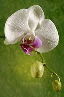 Orchidaceae Phalaenopsis hybrid
