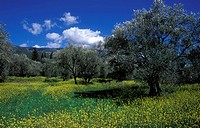 Olive trees in a meadow (thumbnail)