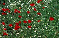 Poppies in a field (thumbnail)