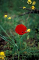 A red poppy (thumbnail)