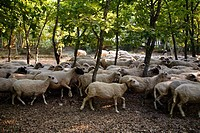Sheep herd among trees