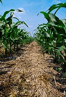 Agriculture - Corn, no-till corn in soybean stubble and residue