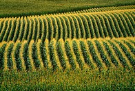 Agriculture - Rolling hills of fully tasseled grain corn in early morning light / N E Iowa, USA