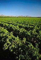 Agriculture - Table Grape Vineyard, Coachella, California, USA
