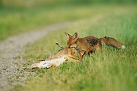 Vulpes vulpes, Red Fox with Brown hare, cub, Germany