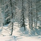 Snow covered trees on a landscape, Cadore, Dolomites, Veneto Region, Italy