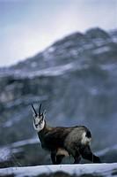 Italy - Valle d'Aosta Region - Gran Paradiso National Park - Chamois (Rupicapra Rupicapra)