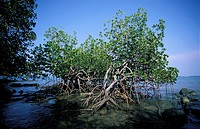 Sabah, mangrove of the coast
