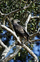 Wilpattu National Park, crested hawk eagle