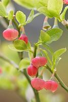 Blooming blueberry  Joensuu, Finland