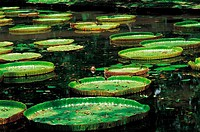 Mauritius, Pamplemousse gardens, giant waterlilies