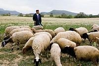 Sshepherd walking with his sheeps at the hills Near Hammamet, Cap Bon region, Tunisia.