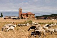 Churras sheep herd. San Cristóbal church (XVIIIth century). Villalafuente, Palencia province, Castilla León , Spain.