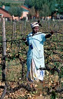 Woman, working, in, vineyard, Paarl, Winelands, Western, Cape, South, Africa,