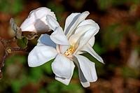 Magnolia ´Merrill´, Magnolia x loebneri