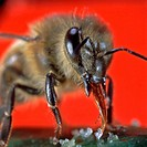 Honey, Bee, Apis, mellifera,