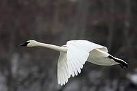 Trumpeter, Swan, Minnesota, USA, Cygnus, buccinator, side,