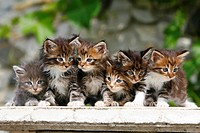Maine, Coon, Cats, kitten